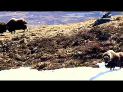 Musk ox fight in Dovrefjell