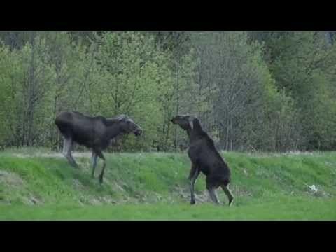 Moose argue