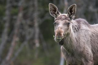 Moose yearling male