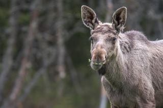 Moose yearling male