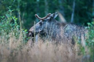 Elgsafari: Møt skogens konge!