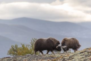 Musk Ox Safari Personal Tour, 2 days