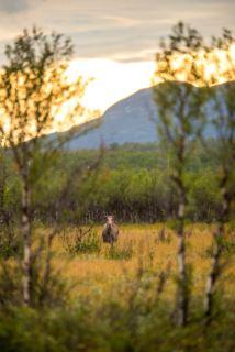 Moose female