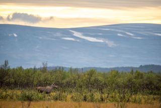 Moose in sunset