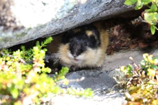 One of the many lemmings who live in the mountains!