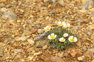 Issoleie (Ranunculus glacialis).