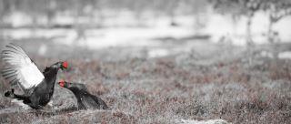 Black grouse (tetrao tetrix) fight