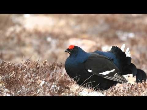 Black grouse (tetrao tetrix) display