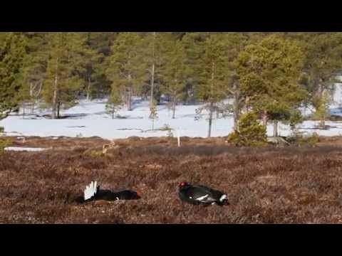 Black grouse display, Photo Safari with Oppdal Safari, Norway