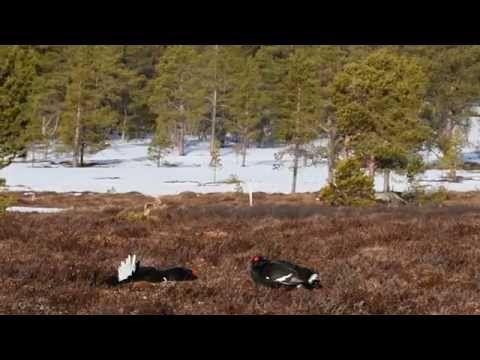 Black grouse display, Photo Safari with Oppdal Safari, Norway