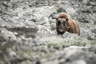 Big musk-ox male