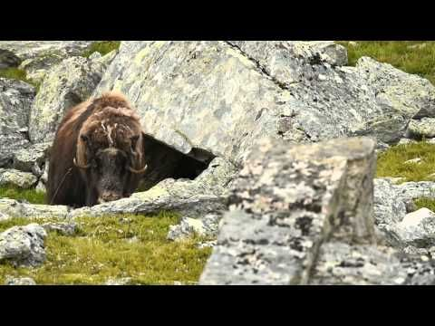 Musk ox female coming out from her cave