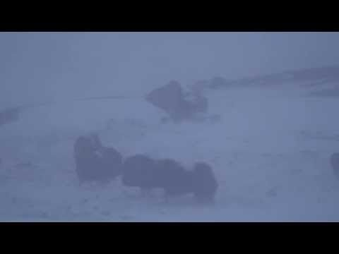 Musk ox (Ovibos moschatus) in storm, Oppdal Safari, Norway