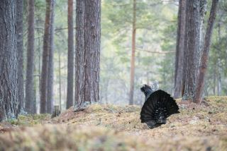 Capercaillie display from photo hide