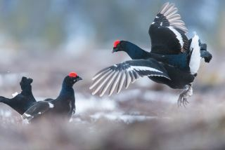 Black grouse display from photo hide