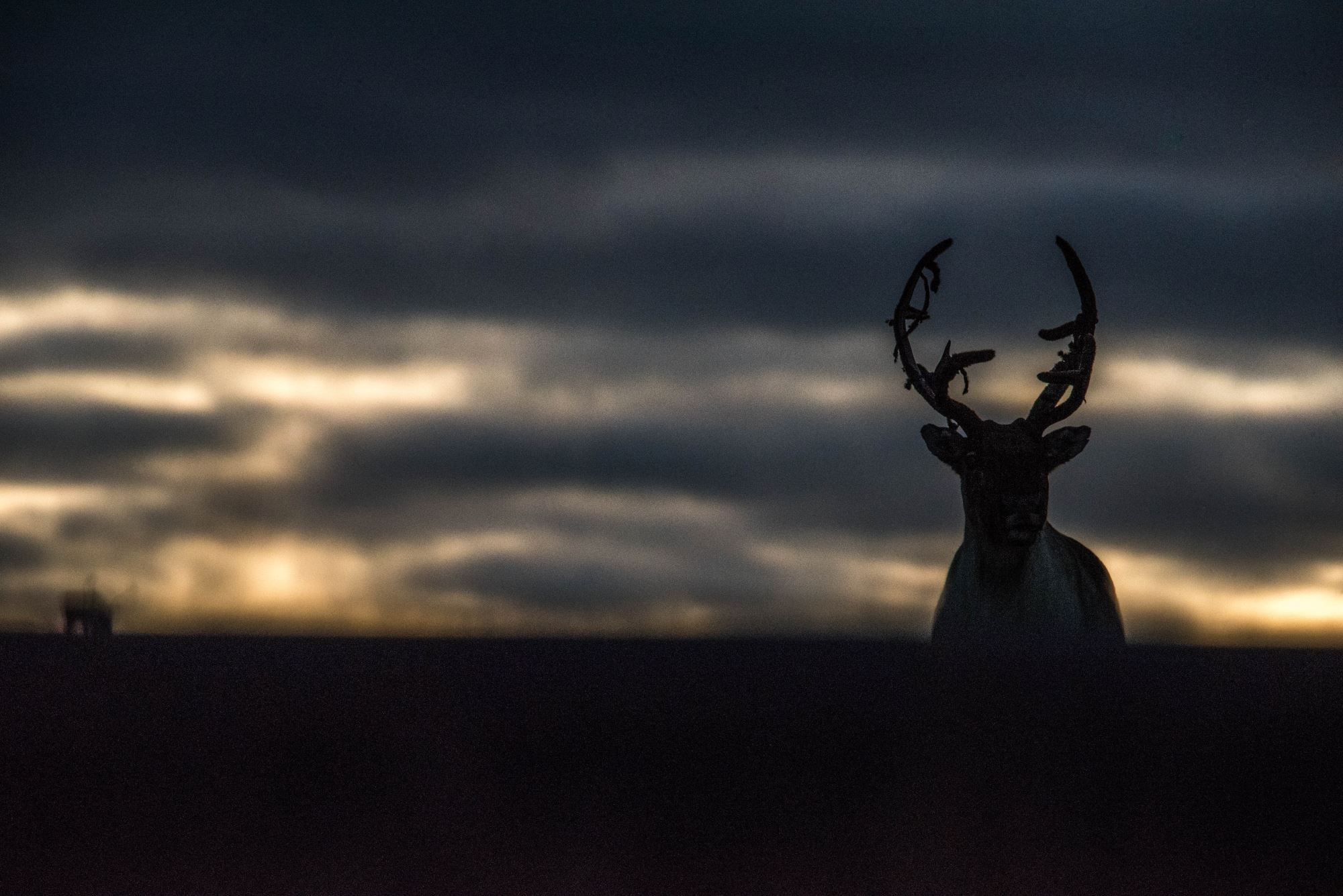 Wild reindeer in late sunset