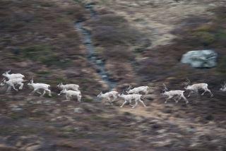 Panorerte reinsdyr