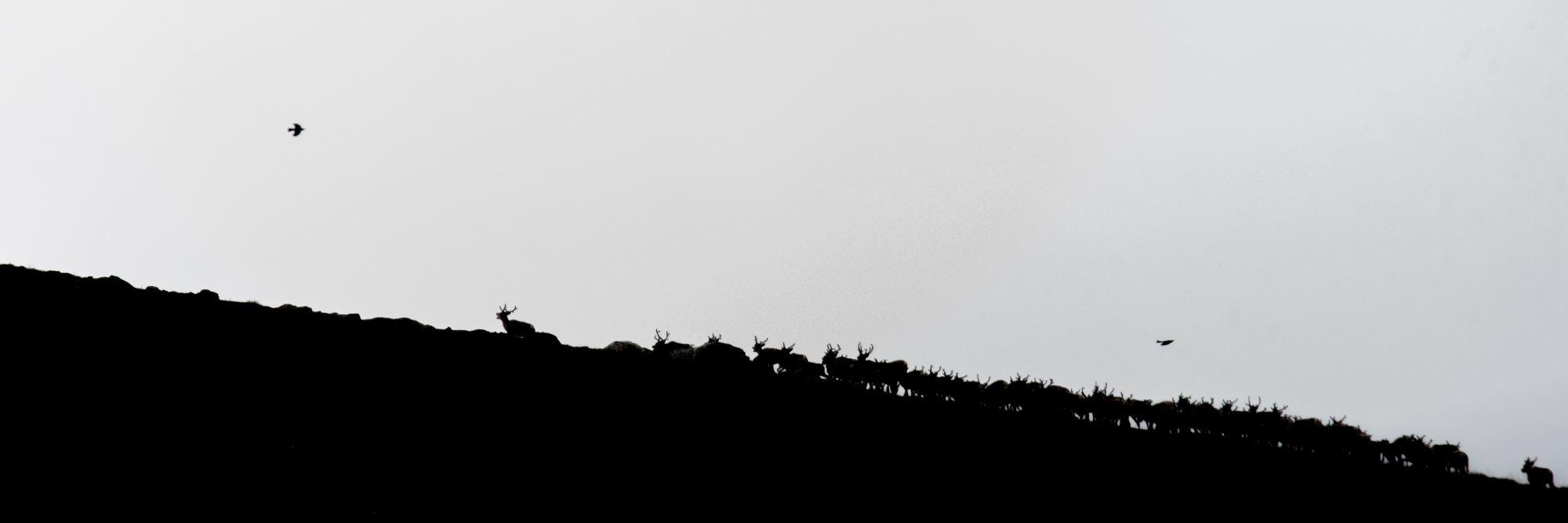 Villreinsafari