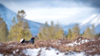 Capercaillie and Black grouse workshop